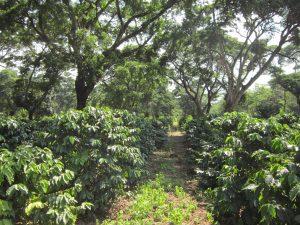 Shade grown coffee – Tanzania Plantation, Kilimanjaro